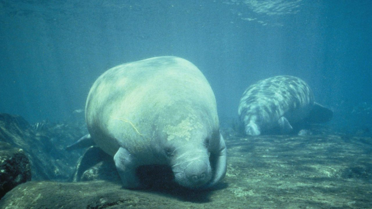 https://thetexan.news/wp-content/uploads/2020/01/Species-Manatee-1280x720.jpg
