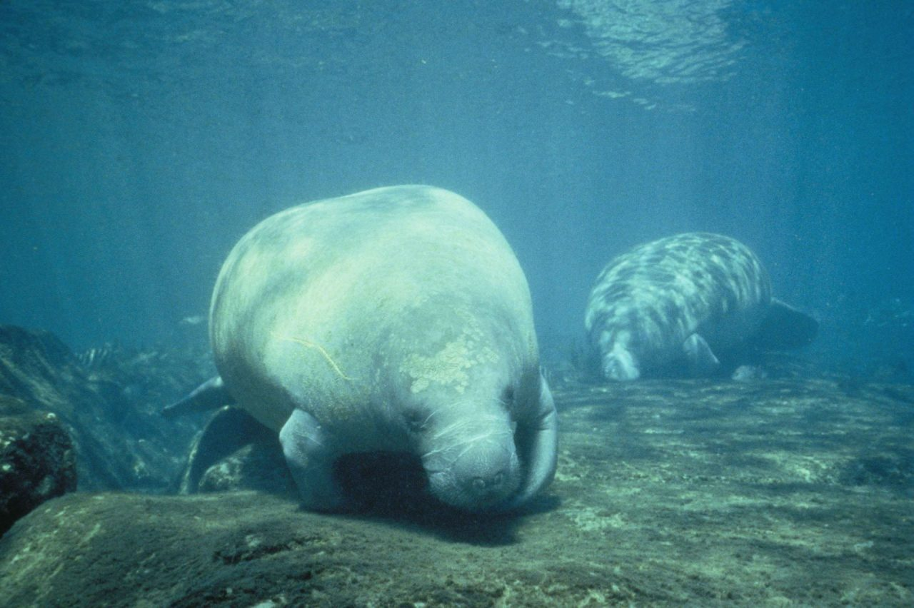 https://thetexan.news/wp-content/uploads/2020/01/Species-Manatee-1280x852.jpg