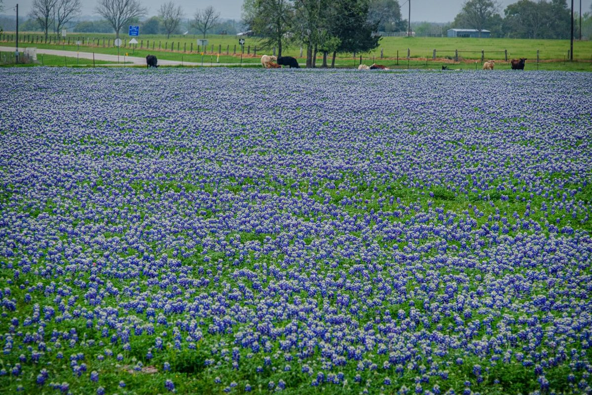 Bluebonnets Signal Spring's Arrival in Texas